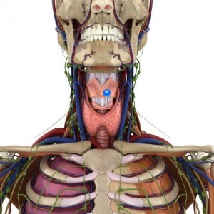 Cricoid cartilage / 3D image and Description