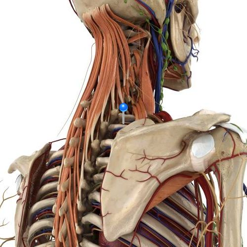 Intercostal Nerve / 3D image and Description