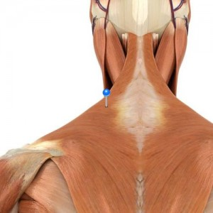 Trapezius / 3D image and Description