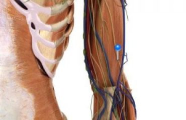 Lateral antebrachial cutaneous nerve / 3D image and Description