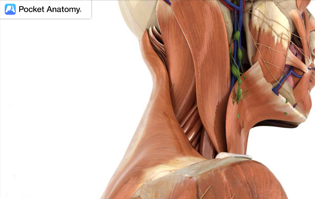 Medical Anatomy Software - PocketAnatomy