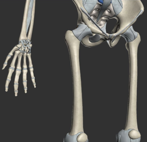 3D Studio Max Ligaments and Connective Tissue