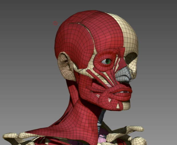 Sculpting facial muscles from scratch in Zbrush.