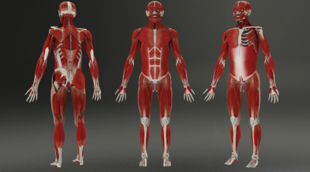 Figure 1.4: Render of the completed muscular system.
