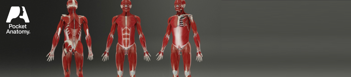 Building A 3d Human Phase 3 Muscular System Pocket Anatomy
